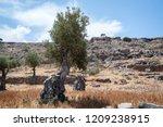 Olive Tree. Olive Tree Wild...
