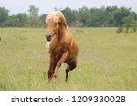 palomino morgan stallion | Shutterstock . vector #1209330028