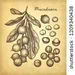 ink sketch of macadamia. hand...   Shutterstock .eps vector #1209340438