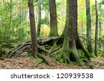 Tree Trunks And Exposed Roots...