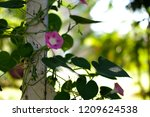 close up open flower of purple... | Shutterstock . vector #1209624538