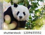 giant panda bear    ailuropoda... | Shutterstock . vector #1209655552