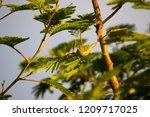 tiny  little  silvereye or wax... | Shutterstock . vector #1209717025