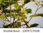 tiny  little  silvereye or wax... | Shutterstock . vector #1209717028