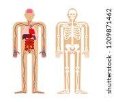 human anatomy system. skeleton... | Shutterstock .eps vector #1209871462