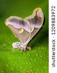 closeup of an atlas moth... | Shutterstock . vector #1209883972