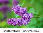 lilac flower bush | Shutterstock . vector #1209968062