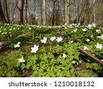 wood anemone  anemone nemorosa  ...   Shutterstock . vector #1210018132