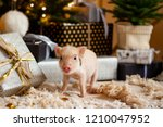 a baby mini pig under a... | Shutterstock . vector #1210047952