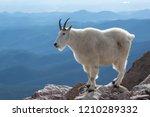 Mountain Goat On Mount Evans ...