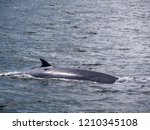whale is swimming in the gulf...   Shutterstock . vector #1210345108