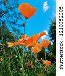 orange californian poppy in the ... | Shutterstock . vector #1210352305