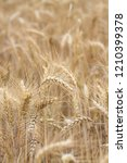 bread wheat  triticum aestivum  ... | Shutterstock . vector #1210399378