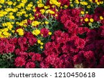 red and white lawn of flowers... | Shutterstock . vector #1210450618