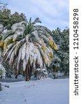 canary island date palm ...   Shutterstock . vector #1210458298