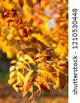 orange autumn leaves on branch... | Shutterstock . vector #1210530448