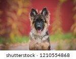 Stock photo german shepherd puppy in autumn 1210554868