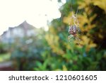 Brown Orb Spider On Cobweb In...
