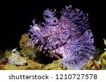 Rare Purple Weedy Scorpionfish...