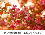 photo of apple blossom. spring  ... | Shutterstock . vector #1210777168