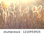 Small photo of Dry reeds grass at sunset. Landscape of reeds grass background. Autumn reeds grass background.
