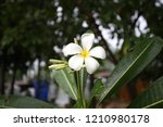 the frangipani green leafs in...   Shutterstock . vector #1210980178