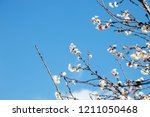 sakura flower blooming on blue... | Shutterstock . vector #1211050468
