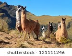 Alpacas At The Pasochoa Volcan...