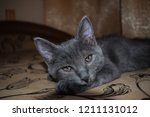 Stock photo grey cute kitten portrait cute gray kitten portait kitten eys looking cute kitten face 1211131012