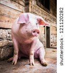 sitting pig at a farm near vienna - austria - stock photo