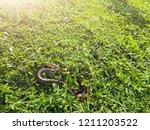 snake in backyard.danger that... | Shutterstock . vector #1211203522