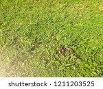 snake in backyard.danger that... | Shutterstock . vector #1211203525