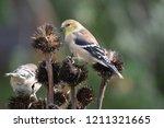american gold finch | Shutterstock . vector #1211321665