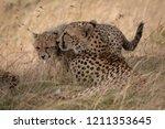 cheetah lying in long grass... | Shutterstock . vector #1211353645