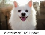 Stock photo white spitz for a walk cute fluffy puppy of the german spitz pomeranian plays for a walk in nature 1211395042