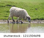 A Sheep Drinking From One Of...