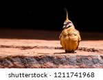 spinifex pigeon  northern... | Shutterstock . vector #1211741968