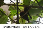 the scaly breasted munia or... | Shutterstock . vector #1211772178