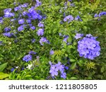 Small photo of Cape leadwort's bluster is very beautiful in the morning.Scientific name is Plumbago auriculata.Green background from its leaves.Blue shade include dark blue,sapphire,indigo and white blue.