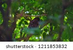 the scaly breasted munia or... | Shutterstock . vector #1211853832