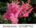 astilbe arendsii  astilbe x...   Shutterstock . vector #1211887762