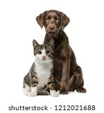 Stock photo puppy labrador retriever sitting kitten domestic cat sitting in front of white background 1212021688