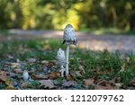the fungus shaggy ink cap....   Shutterstock . vector #1212079762