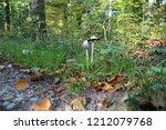 the fungus shaggy ink cap....   Shutterstock . vector #1212079768
