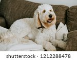 Goldendoodle At Home On Couch