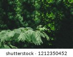 close up of pond pine branch | Shutterstock . vector #1212350452