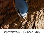 eurasian nuthatch perched on... | Shutterstock . vector #1212362302