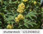 red elderberry  sambucus...   Shutterstock . vector #1212436012