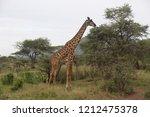 giraffe in the african... | Shutterstock . vector #1212475378