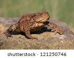 Common Toad  Bufo Bufo  Walking.